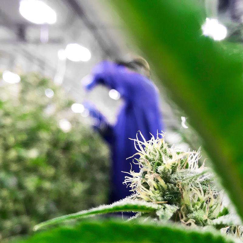Cannabis urban-gro