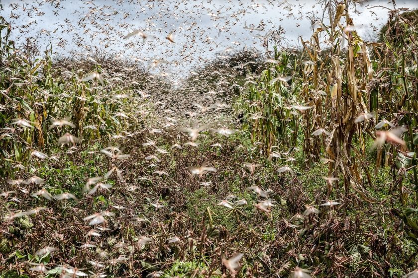 Locust Swarms Emphasise the Need for Controlled Environment Agriculture